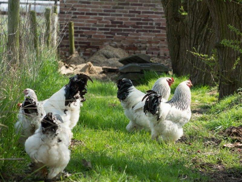 free-range light Brahma chickens foraging