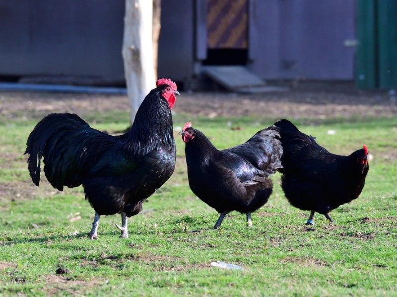 three black Australorp chickens roaming