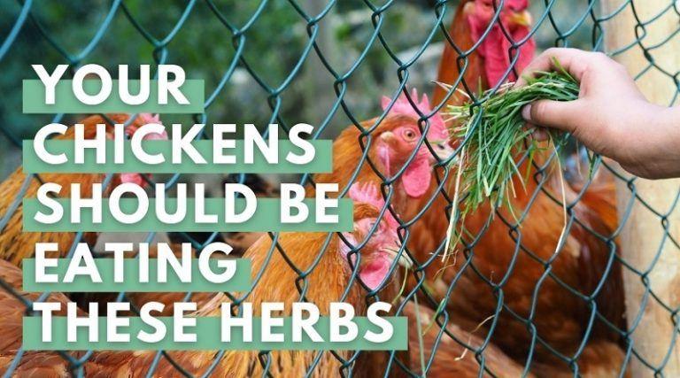 Chicken Eating Herbs