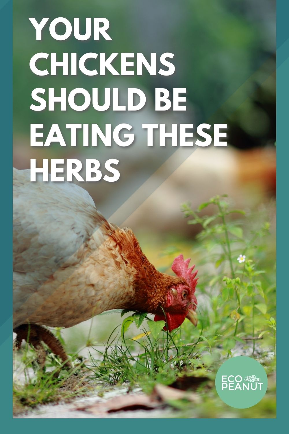 Pinterest Chickens Eating Herbs
