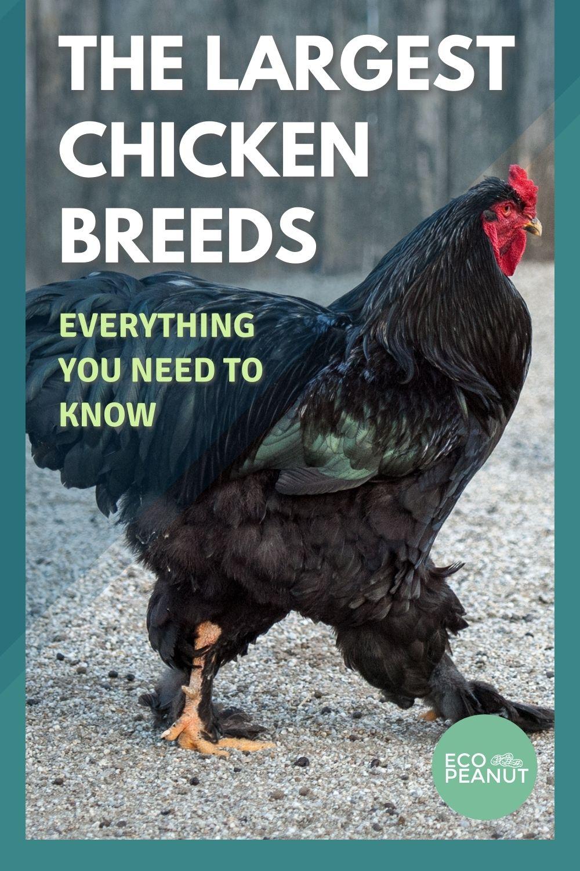 pinterest largest chicken breeds