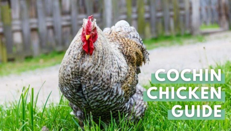 Cochin Chicken Guide FI