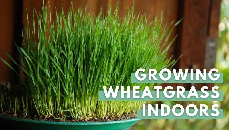 wheatgrass in green