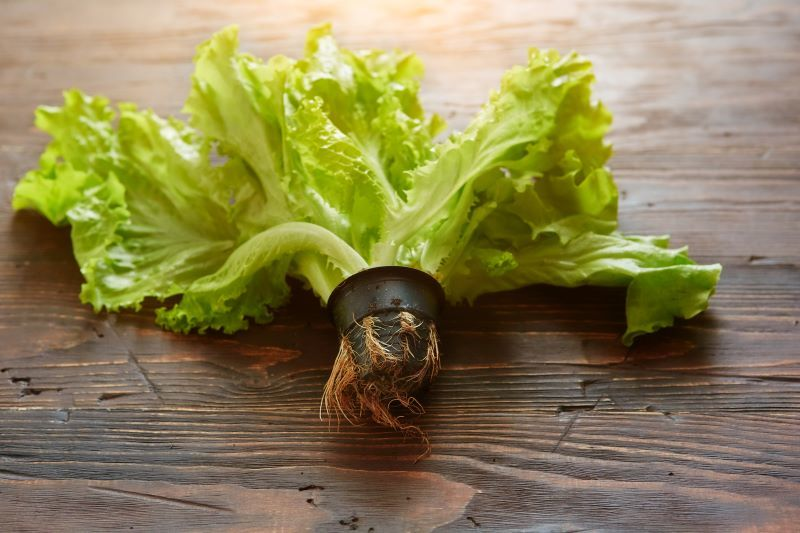A loose-leaf lettuce laying flat on a table