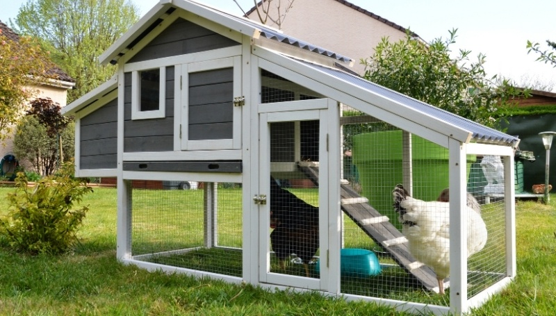 two large chickens in an elevated chicken coop with ramp and run