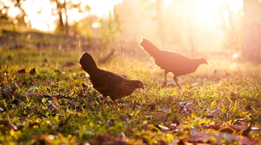 a couple of chickens roaming during their free-range time