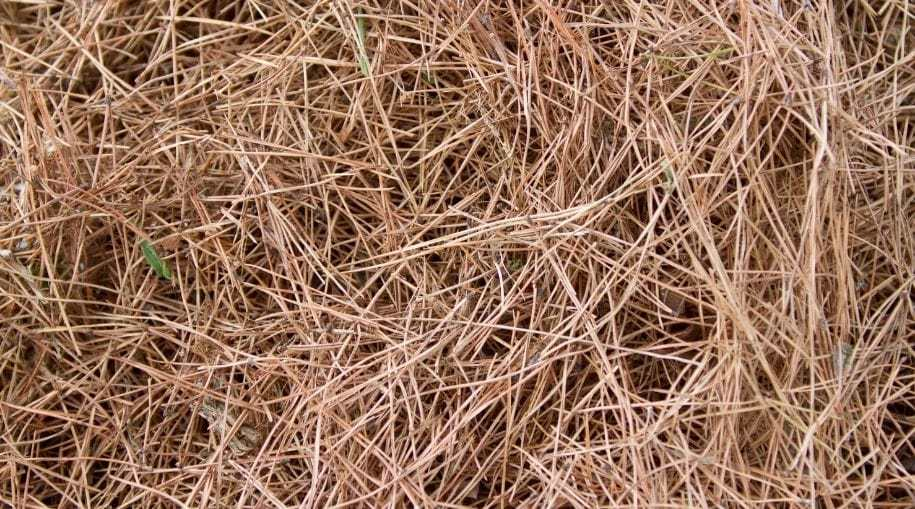 a bunch of dried pine needles