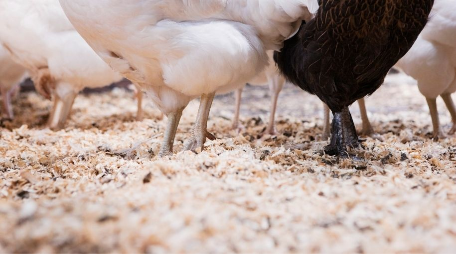 sawdust with visible chicken feet