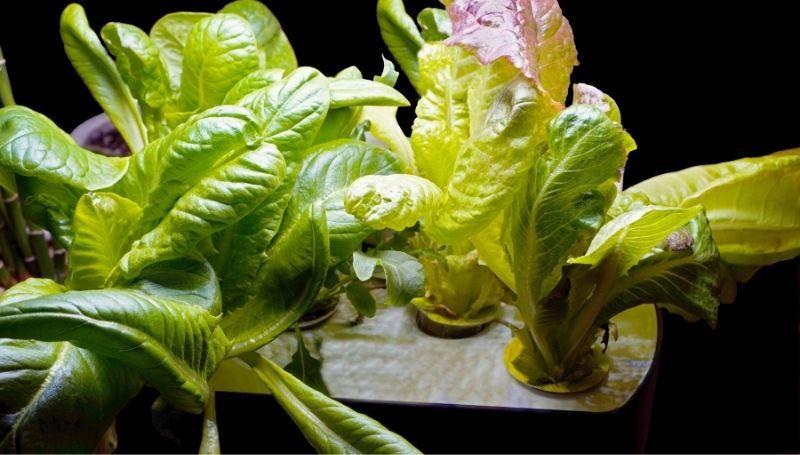 lettuce growing from a 3-pod AeroGarden