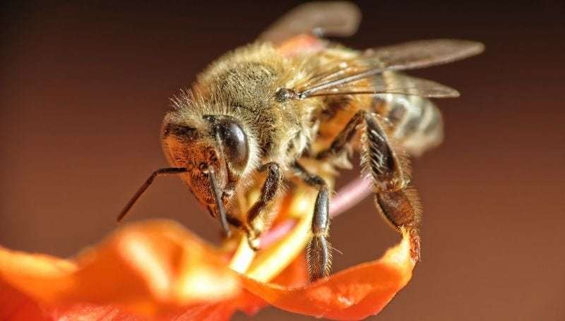 macro shot of one African Bee (also known as Killer Bee) on an orange flower