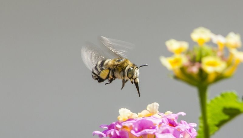 one blueberry bee about to land on a pink flower