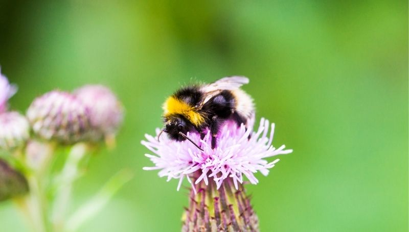 one fuzzy bumble bee on a flower