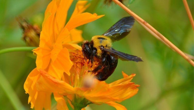 a Carpenter bee on a huge yellow flower