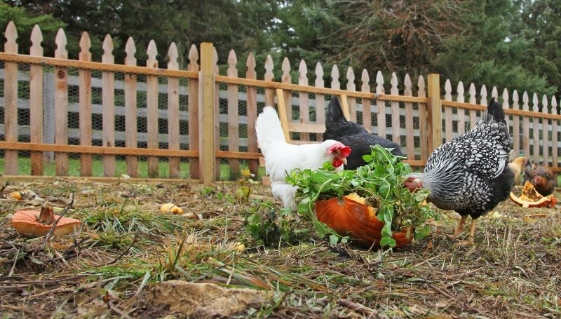 chickens foraging food on cracked pumpkin shells