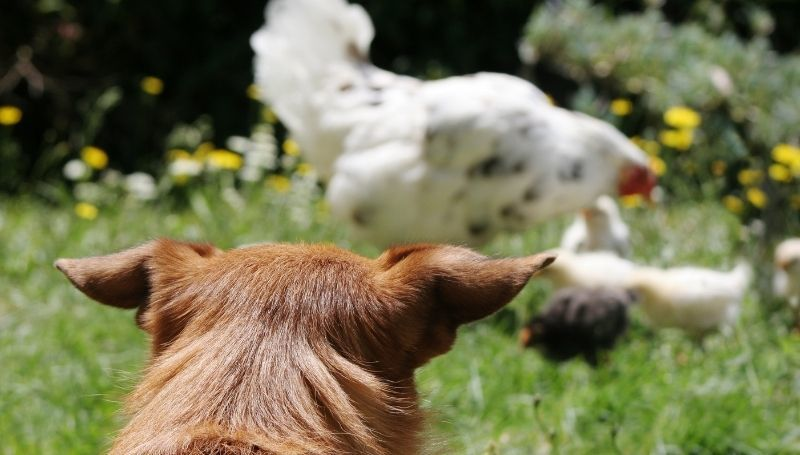 one brown dog looking at a chicken and its chicks