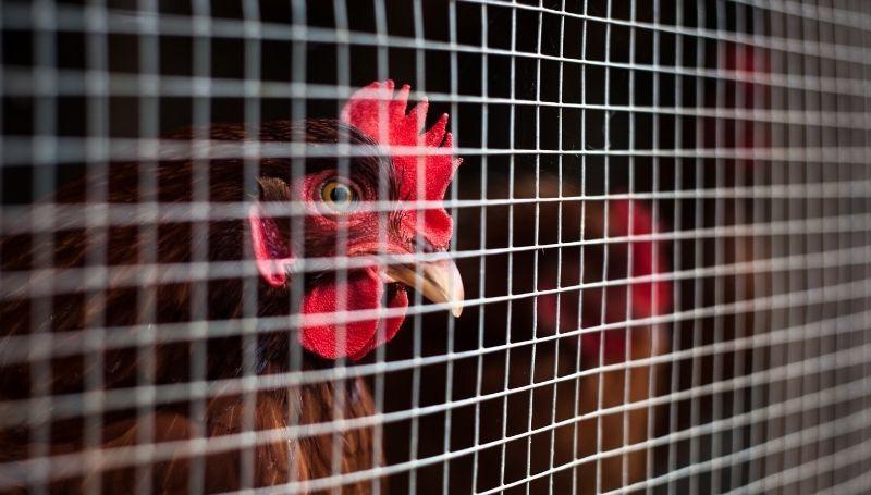 chickens behind hardware cloth