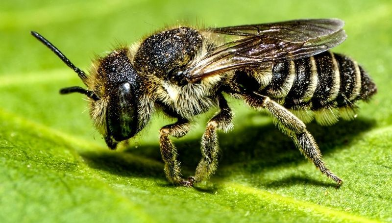 a zoomed in shot of one leafcutter bee on a leaf