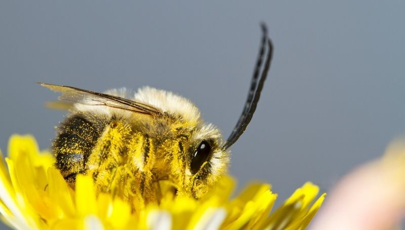 one long-horned bee on a yellow flower
