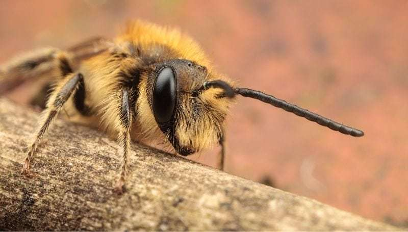 macro shot of a mining bee on a wooden branch