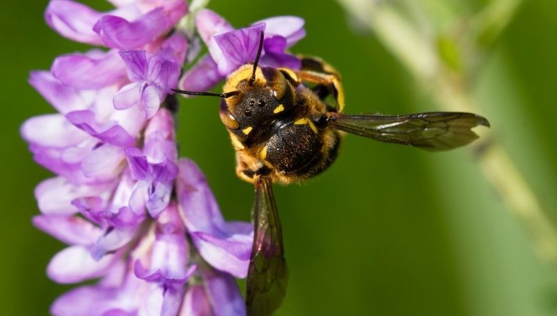 one plater bee hanging upside down on a purple flower