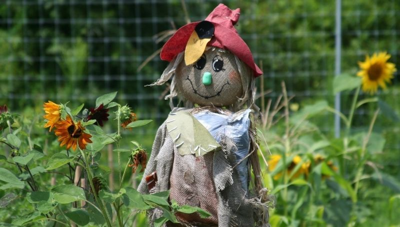 cute scarecrow in a sunflower garden used to keep chickens away
