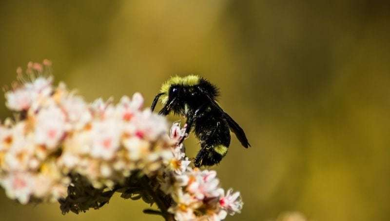 one yellow-faced bee on a flower