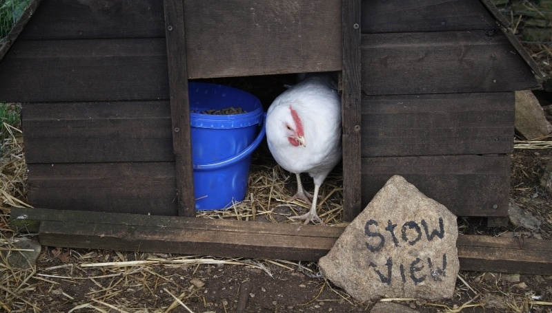 white chicken coming out of a wooden chicken coop with a wooden door
