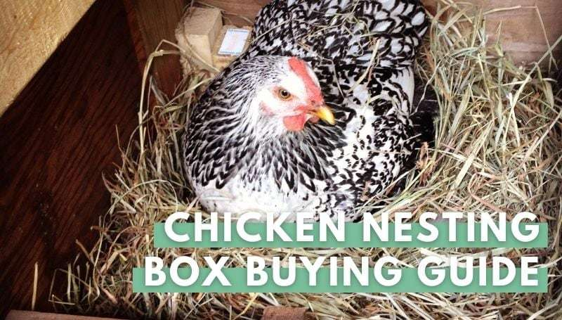 gray chicken in box