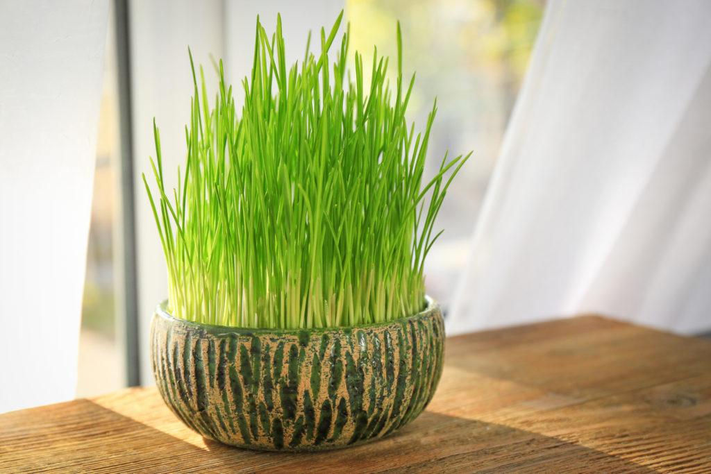 Pot with wheat grass on table near window