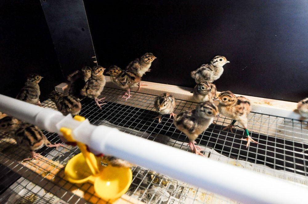 chicks running around a chicken brooder box