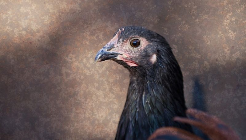sideview of a black Australorp, one of the friendliest chicken breeds