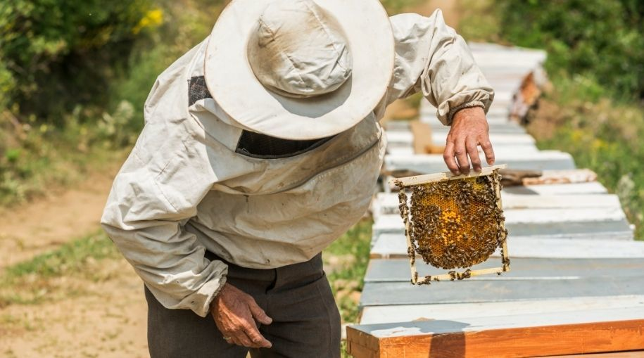 a beekeeper inspecting a frame with bees