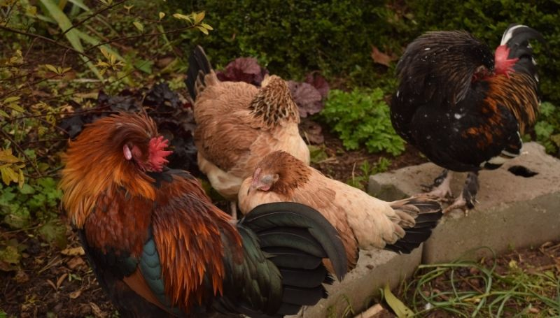 chickens roosting on concrete blocks