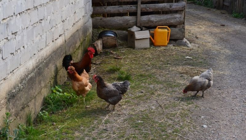 four chickens cornered against a bricked wall