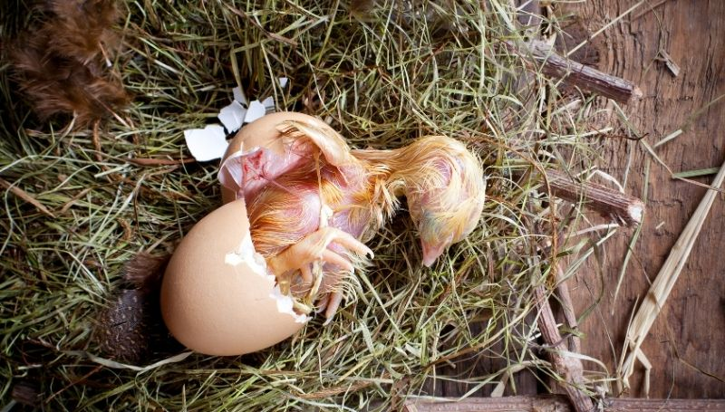 top view of a hatching with its bottom still in the egg shell