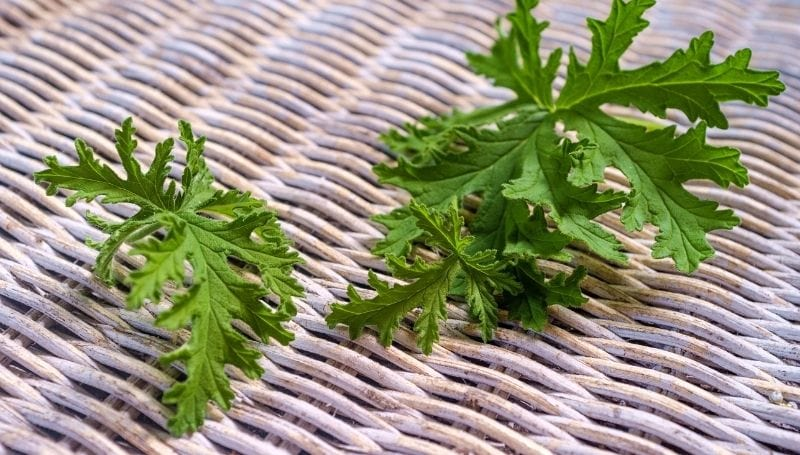 coriander or cilantro leaves on a woven wood surface