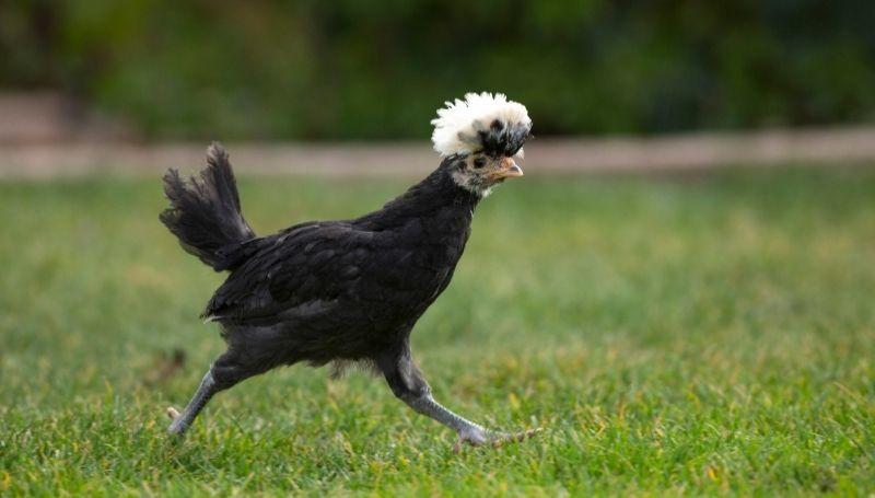 a black chicken running on the grass