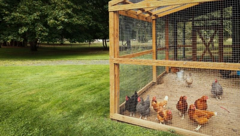 a flock of multi-colored chickens in a walk-in chicken coop with sand flooring in a spacious well-kept land