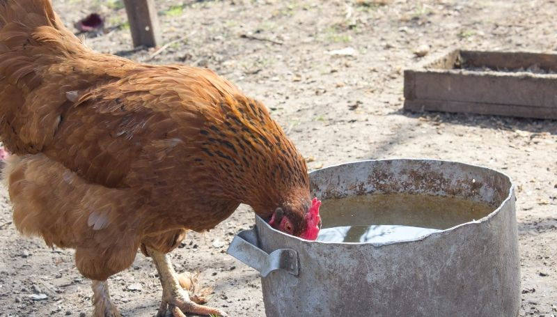 a brown chicken drinking water from a steel container