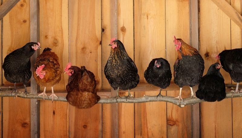 eight chickens standing and sitting on a roost inside a wooden coop
