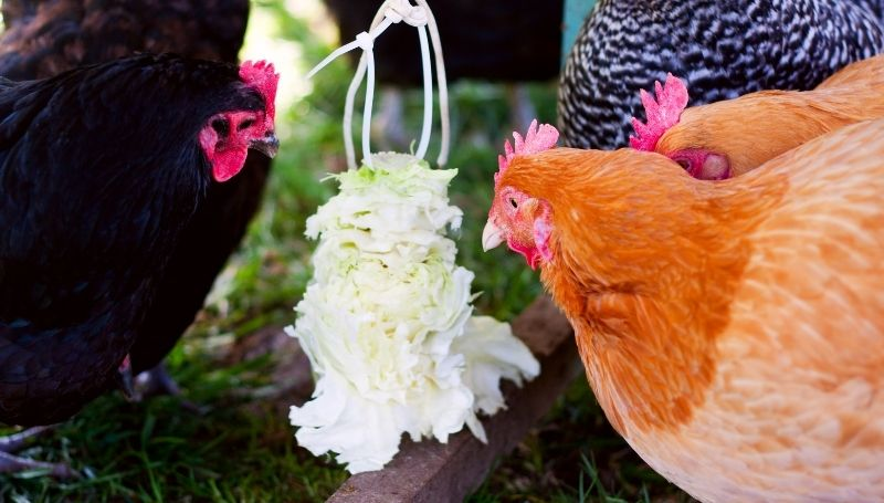 a flock of chicken eating cabbage hanged using white cable ties