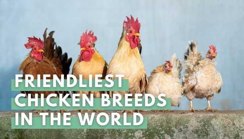 Friendliest Chicken Breeds in the World