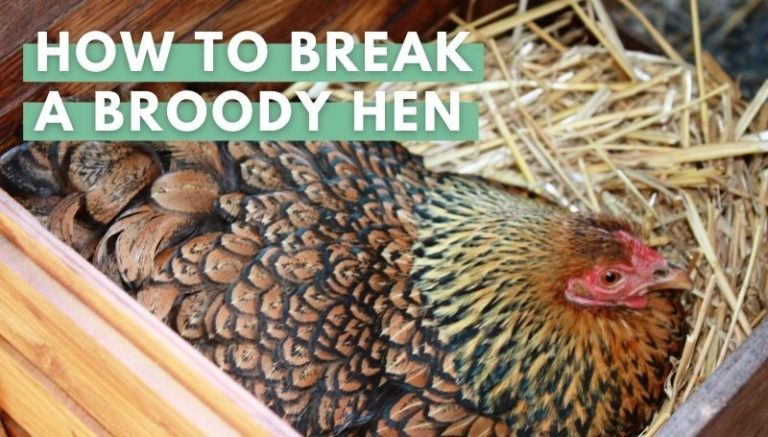 how to breack a broody hen