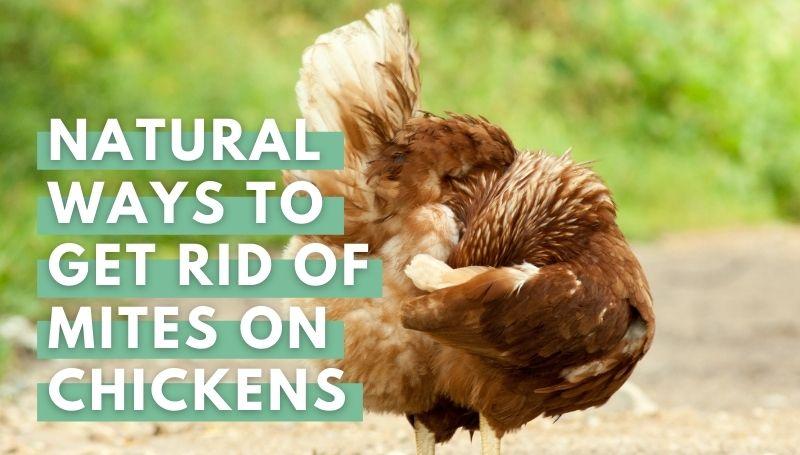 natural ways to get rid of mites on chicken