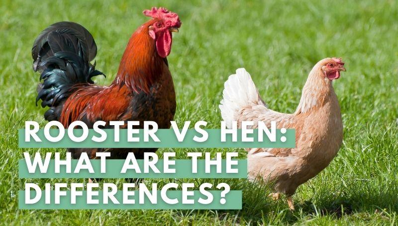 rooster vs hen