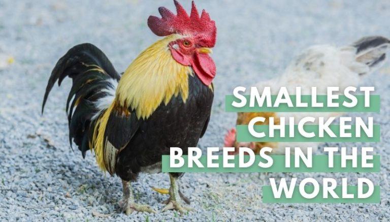 Smallest Chicken Breeds in the World
