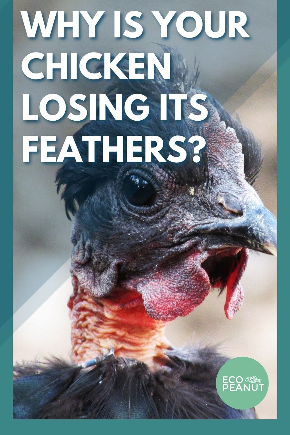 chickens loosing feathers