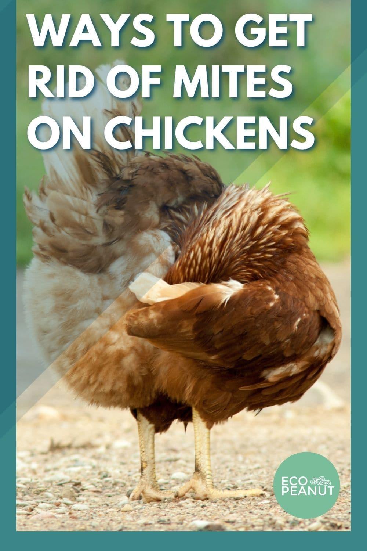 ways to get rid of mites on chickens