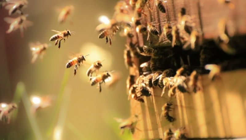 bees entering a hive
