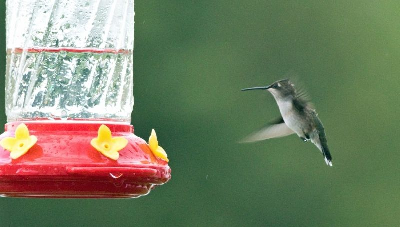 a clean, nectar-free red hummingbird feeder with a hummingbird flying towards it